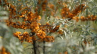 Close up view of orange buckthorn branches video
