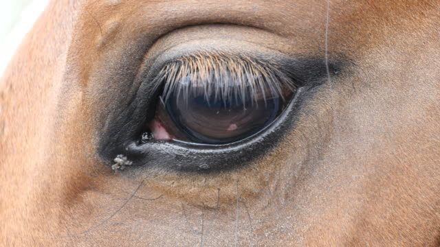 Close up view of the eye of a beautiful brown horse. Equine eye blinking video