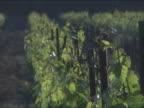 Close up vineyard, grape vines video