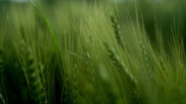 Close up wheat field video