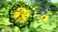 Closed sunflower video