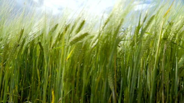 Closer look of the grains of the barley video