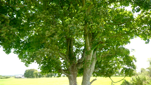 Closer look of the green leaves in the tree Ireland video