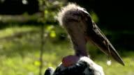 Closer look of the marabu bird video