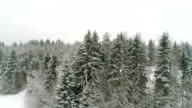 Closer view of the spruce trees in the mountain video