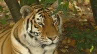 close-up - a portrait of a tiger video