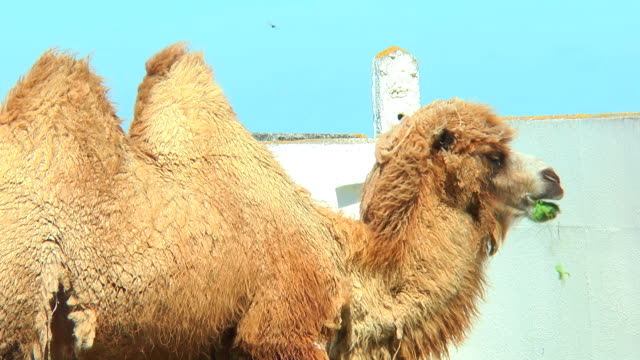 Close-up Bactrian camel in corral eating from bird feeders video