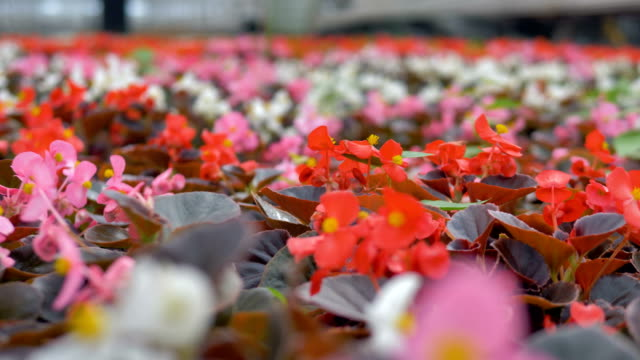 Close-up beautiful flowers in a huge greenhouse. 4K. video