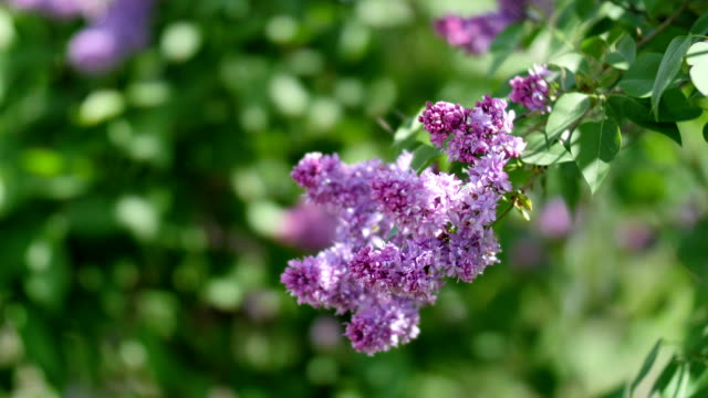 Close-up beautiful lilac flowers with the leaves. Beauty world video