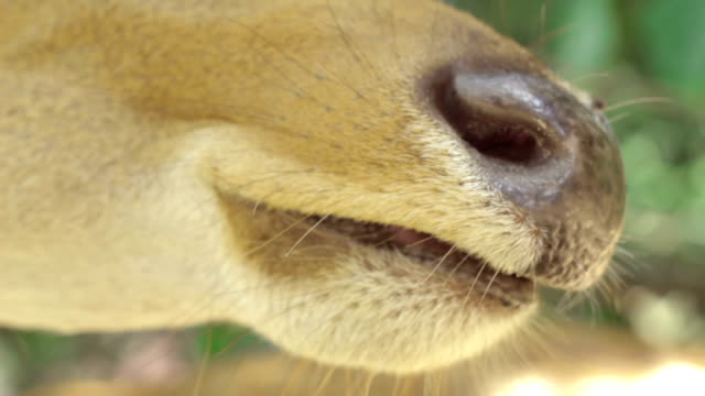 Close-up Brow-antlered deer is chewing the food video