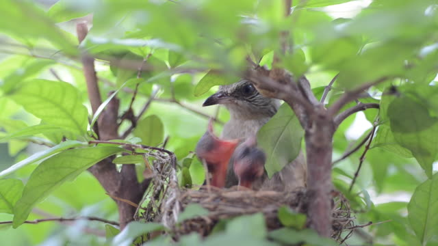 Close-up Bulbul  feeding flapper video
