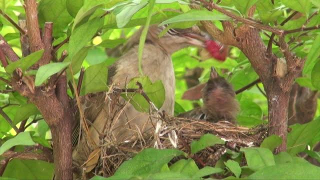 Close-up Bulbul  feeding flapper video