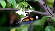 Closeup butterfly on flower (Common tiger butterfly) video