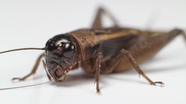 Closeup Cricket video