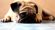 closeup cute pug dog on the floor video