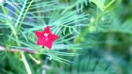 Closeup cypress vine flower video