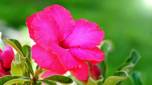Closeup Desert rose video