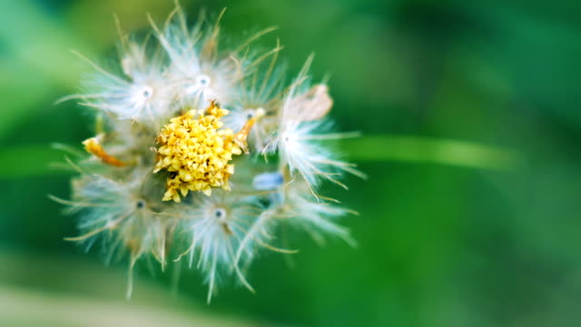 Closeup dried weed seed, Tridax daisy video