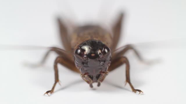 Closeup Face Cricket video