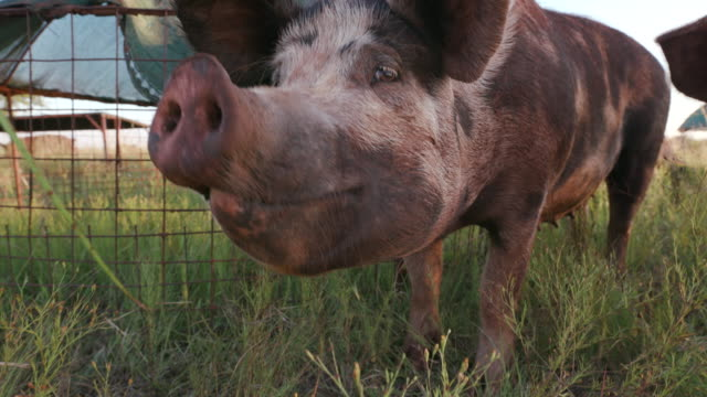Close-up facial view of free range pig sniffing the air video