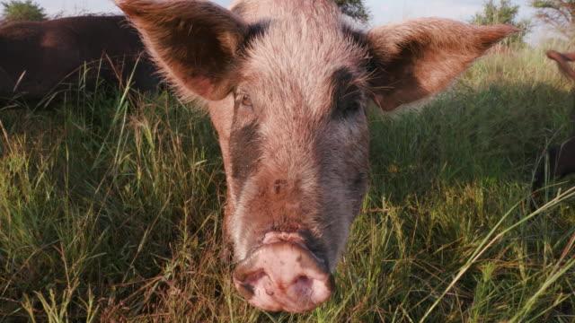 Close-up facial view of free range pig video
