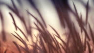 close-up field of feather grass at sunset vintage color video