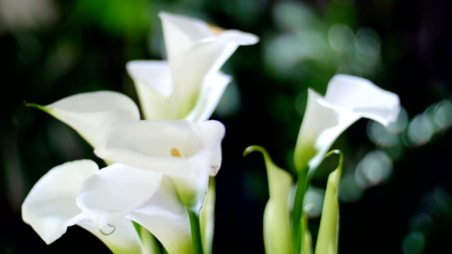 close-up, Flower bouquet in the rays of light, rotation, consists of calla. in the background a lot of greenery video