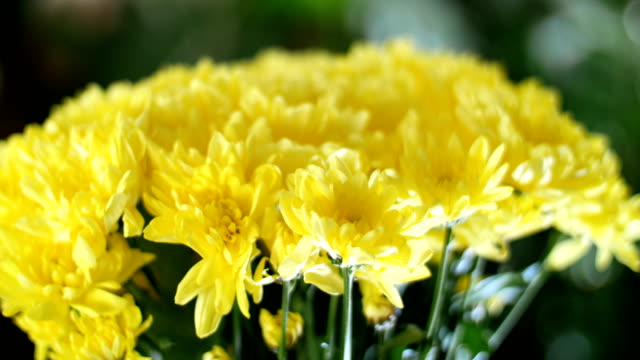 close-up, Flower bouquet in the rays of light, rotation, the floral composition consists of yellow Chrysanthemum Chamomile . In the background a lot of greenery video