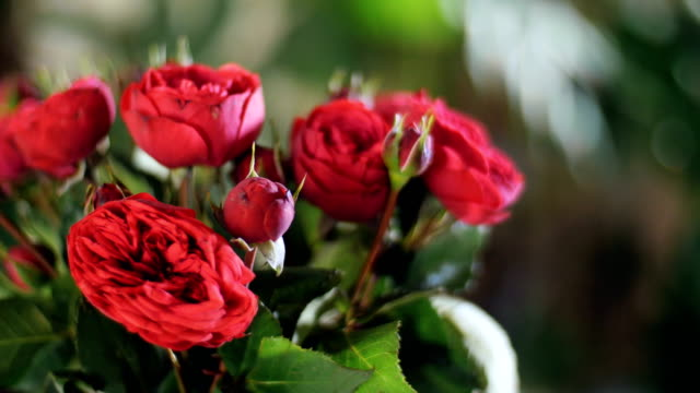 close-up, Flower bouquet in the rays of light, rotation, the floral composition consists of red Roses pion-shaped. Divine beauty. in the background a lot of greenery video