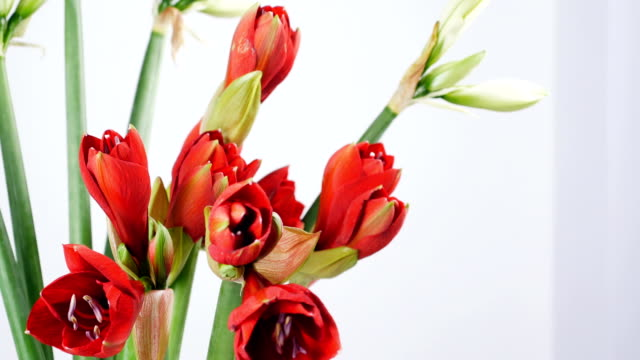 close-up, Flowers, bouquet, rotation on white background, floral composition consists of Amaryllis white, pink , ferrari video