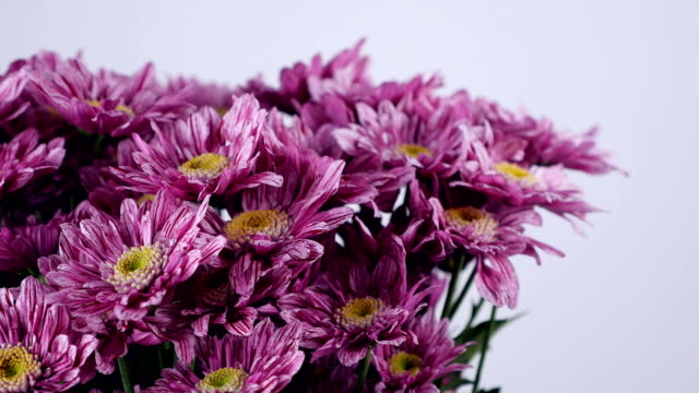close-up, Flowers, bouquet, rotation on white background, floral composition consists of purple Chrysanthemum saba video