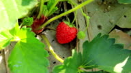 Closeup fresh strawberry and harvesting on the vine video