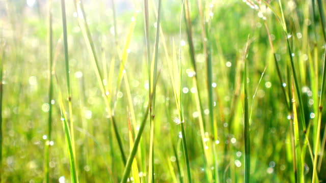 Close-up grass background. Field of long green grass sway in the breeze with dew drops video