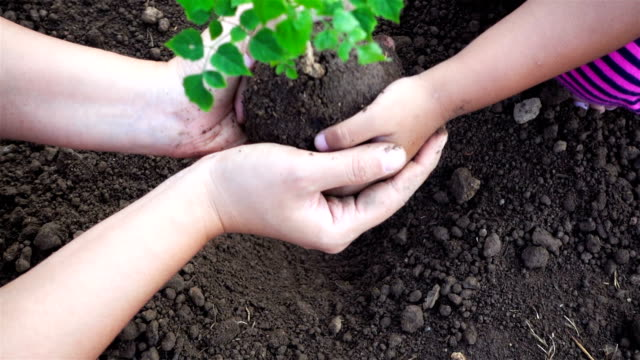 Close-up hand of asian female and little girl planting sapling in the land together. Ecology concept. (Part 1) video