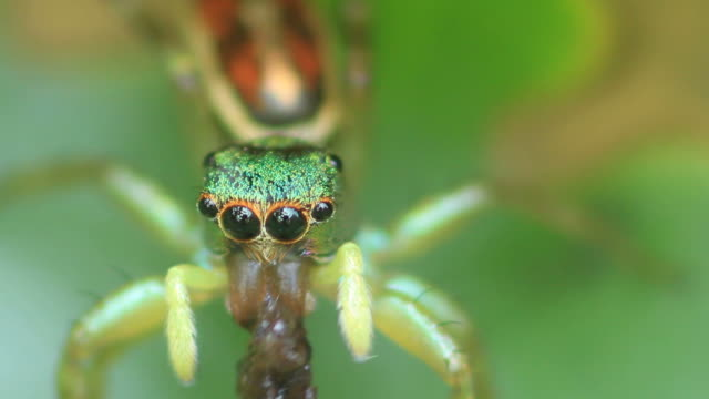 Close-up Jumping spider video