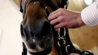 Close-up: man fasten the straps on the horse video