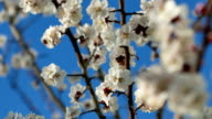 A closeup of a beautiful branch of apricot or sakura blossoming in a spring in the garden, a flower pollinated by a bumblebee. video