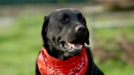 close-up of a black labrador retriever dog video