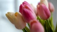 Close-up of a bouquet of tulips on a light background video