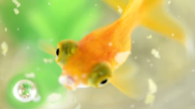 Close-up of a goldfish eating in slow motion video