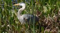 Closeup of a Great Blue Heron Stalking Food in a Florida Wetland video
