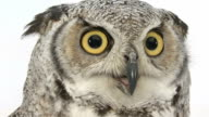 Close-up of a Great Horned Owl looking at the camera video