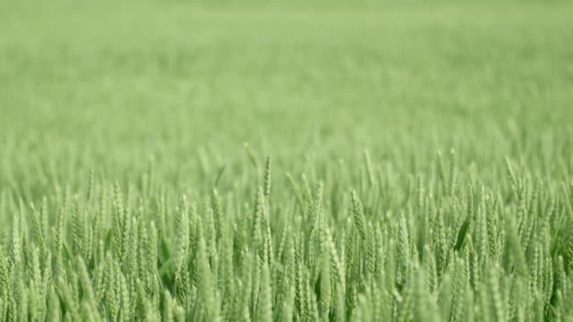 Close-up of a green wheat field video