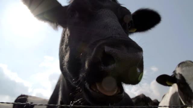 Closeup Of A Happy Cow video