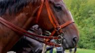Closeup of a horse head in harness. video
