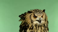 Close-up of a Indian Eagle Owl looking around, green key video