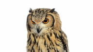 Close-up of a  Indian Eagle Owl looking around video