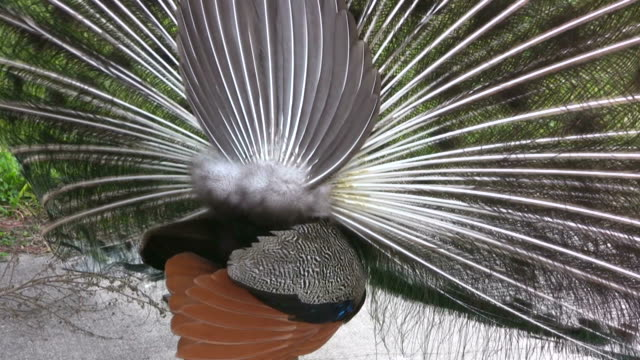 Closeup of a Peacock Displaying His Plumes video