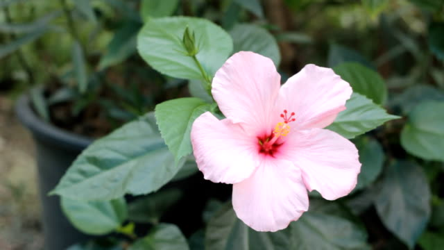 Close-up of a pink hibiscus flower video
