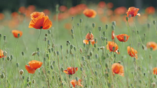 Close-up of a poppy flower meadow video